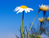 Camomile with blue sky — Stock Photo