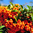 Yellow rowan berries — Stock Photo