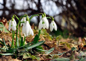Closeup of snowdrops — Foto Stock
