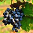 Stock Photo: Blue grapes
