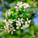 Cherry flower — Stock Photo