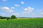 Zielony cornfileds — Zdjęcie stockowe