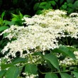 Foto Stock: Elderflower