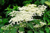 Elderflower — Stockfoto