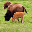 Stock Photo: Bisons