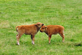 Young bisons — Stock Photo