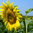 Sunflower with blue sky — Stock Photo #9945314