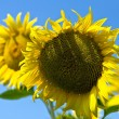Sunflowers with blue sky — Foto de Stock