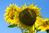 Sunflowers with blue sky — Stock Photo