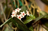 Hoya carnosa (waxflower) — Stock Photo