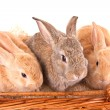 Rabbits — Stock Photo #10153788
