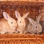 Rabbits — Stock Photo #10153830