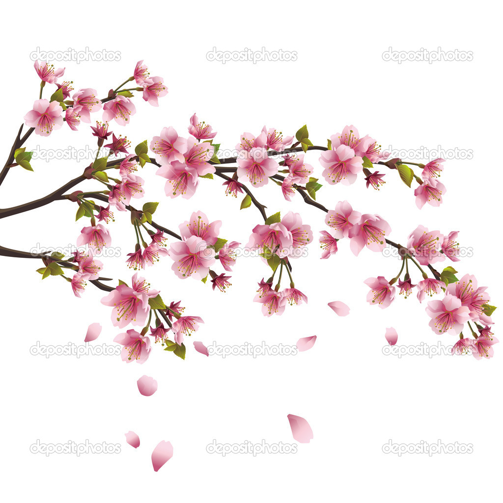 Sakura blossom  Japanese cherry tree isolated on white backgrou