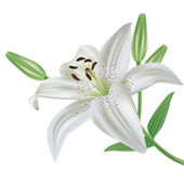 Lily flower isolated on white background — Stock Vector