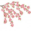 Sakura blossom - Japanese cherry tree over white - Stock Vector
