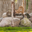 Stock Photo: Lion lying on rocks in wild life park