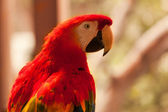 Wild red parrot on the tree — Stock Photo