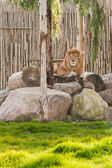 Lion lying on the rocks in wild life park — Stock Photo