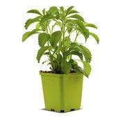 Stevia plan into a bucklet — Stock Photo