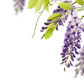 Wisteria white background - border — Stock Photo