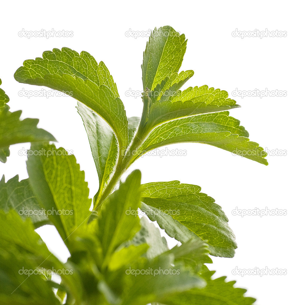 Branch of stevia rebaudiana plant, for an angle of page, green design, white background — Stock Photo #10471802