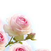 Romantic pink roses flowers background — Stock Photo
