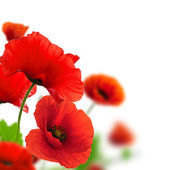 Spring flowers - poppies — Stock Photo