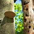 Stock Photo: Trunks in forest, hollows tree and fungi