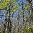 Beech forest — Stockfoto #8011078