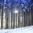 Trees and sun in the winter forest — Stock Photo