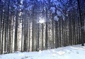 Los árboles y el sol en el bosque de invierno — Foto de Stock