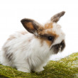 Lop-eared Funny Bunny — Stock Photo