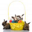 Some lop-eared rabbits with colored eggs In a basket — Stock Photo