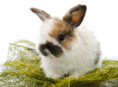 Lop-eared Funny Rabbit — Stock Photo