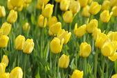 желтый тюльпан — Стоковое фото