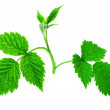Raspberry leaves — Stockfoto