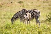 Zebra Mother and Calf — Stock Photo