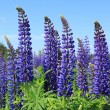 Lupin — Stock Photo #8125498