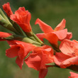 Orange gladiola — Stock Photo