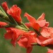 Orange gladiola — Stock Photo #8356197