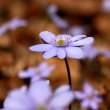 Hepatica — Stock Photo #8356286