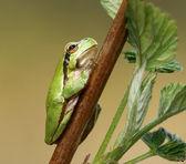 Green frog — Stock Photo