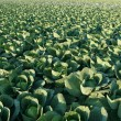 Cabbages. — Stock Photo #8371705