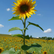 Sunflower — Stock Photo #8371858