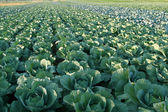 Cabbages. — Stock Photo