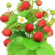 Stock Photo: Wild strawberry