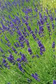 Lavender. — Stock Photo