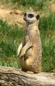 Curious meerkat — Stock Photo