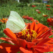 Stock Photo: Brimstone butterfly