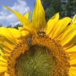 Summer sunflower — Stock Photo #8841052